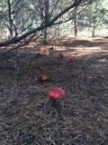 红色muchrooms在森林里 库存图片