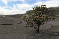 红色Ohia乐华树灌木,大岛,夏威夷 库存照片