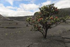 红色Ohia乐华树灌木,大岛,夏威夷 库存图片