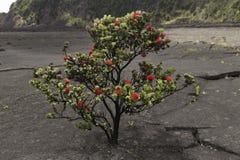 红色Ohia乐华树灌木,大岛,夏威夷 免版税图库摄影