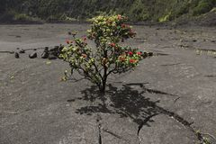 红色Ohia乐华树灌木,大岛,夏威夷 免版税库存图片