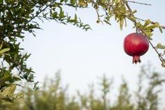 红色pomegrant垂悬在日落的rosh hashana的 免版税库存图片