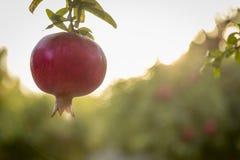 红色pomegrant垂悬在日落的rosh hashana的 库存图片