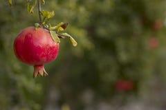 红色pomegrant垂悬在日落的rosh hashana的 库存照片