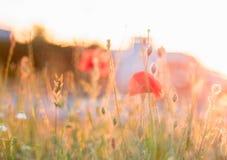 红色poppys在日落/日落的,被弄脏的背景城市 免版税库存照片