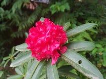 红色Rhodedrons春天秀丽 库存图片