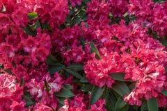 红色Rhododenron特写镜头 免版税库存图片