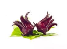 红色rosella花。 免版税库存图片