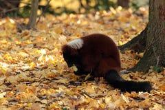 红色ruffed狐猴。 库存照片