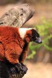 红色ruffed狐猴猴子 免版税库存照片