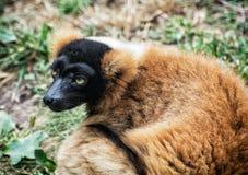 红色ruffed狐猴- Varecia rubra画象 免版税库存图片