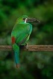 绯红色rumped toucanet, Aulacorhynchus haematopygus,绿色和红色小toucan鸟在自然栖所 在trop的异乎寻常的动物 图库摄影