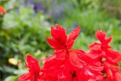 红色salvia花关闭 库存图片
