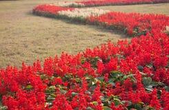 红色Salvia 免版税图库摄影
