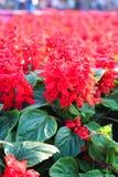 红色Salvia 库存图片