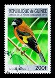 红色Siskin (Carduelis cucullata),鸟serie,大约1996年 库存图片