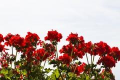 红色storksbills 库存图片