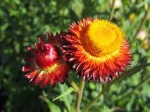 红色Strawflower 免版税库存图片