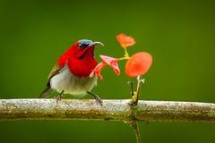 绯红色sunbird 图库摄影