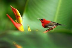 绯红色sunbird 免版税库存照片