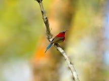 绯红色Sunbird (Aethopyga siparaja) 免版税图库摄影