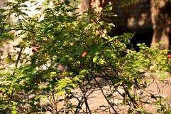 红色sweetbrier在庭院里 免版税库存图片
