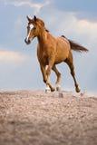 红色Trakehner马奔跑在天空背景小跑 免版税库存照片