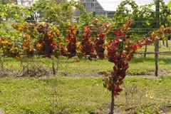 红色vineleaves和葡萄 免版税库存图片