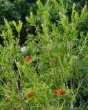 红色whiskered在象树枝的竹子栖息的歌手鸟 免版税库存图片