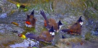红色whiskered歌手鸟 图库摄影