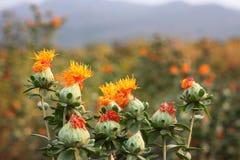 红花在农场 免版税库存照片