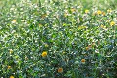红花开始在庭院里开花 库存图片
