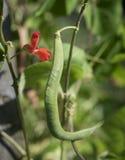 红花菜豆和红色开花 库存图片