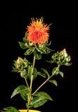 红花(红花tinctorius L ) 是一棵高度分支的,草本,象蓟的每年植物 免版税库存照片