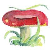 红茹属蘑菇paited与在白色背景的水彩 免版税库存图片
