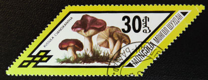 红茹属cyanoxantha采蘑菇,系列,大约1978年 库存照片