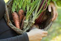红萝卜、parsleys和甜菜根在篮子 库存照片