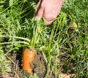 红萝卜从事园艺的拉 免版税图库摄影