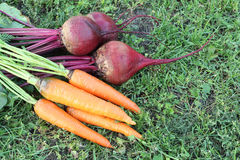 红萝卜和甜菜在一棵草在庭院里 免版税库存照片