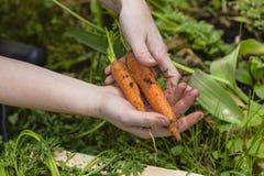 红萝卜收获 免版税库存图片