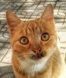 红萝卜猫 免版税图库摄影
