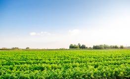 红萝卜的种植园在领域增长 有机蔬菜 风景农业 免版税库存图片