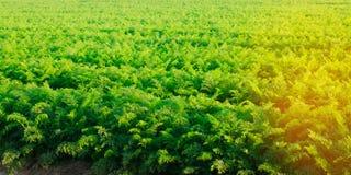 红萝卜的种植园在领域的 美好的横向 农业 种田 菜行 晴朗的日 环境友好的agricultu 免版税库存照片
