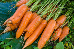 红萝卜菜园 免版税库存照片