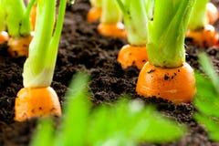 红萝卜菜在土壤有机backgro的庭院里增长 免版税库存照片