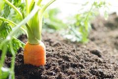 红萝卜菜在庭院里在土壤有机背景中增长 免版税库存图片