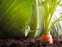 红萝卜菜在庭院里在土壤有机背景中增长 库存照片