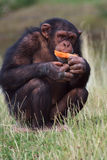 红萝卜黑猩猩吃 库存照片