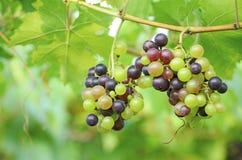 红葡萄和绿色葡萄 图库摄影