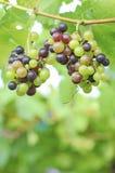 红葡萄和绿色葡萄 库存图片